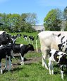 [Translate to English:] Ammetante-køer og kalve er netop sat på græs ved AU Foulum. Dyrene indgår i det nye GrOBEat projekt, der omhandler bæredygtig og velfærdsvenlig kalve- og oksekødsproduktion. Foto: Linda S. Sørensen.