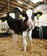 [Translate to English:] Projektet sætter som noget nyt fokus på, hvad det betyder for koens tilknytning til kalven og koens følelser at være sammen med sin kalv. Det undersøger hvor motiverede køer er for at være sammen med deres kalv og om køer, der er sammen med deres kalve, e
